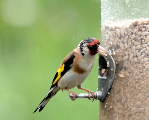 damp goldfinch