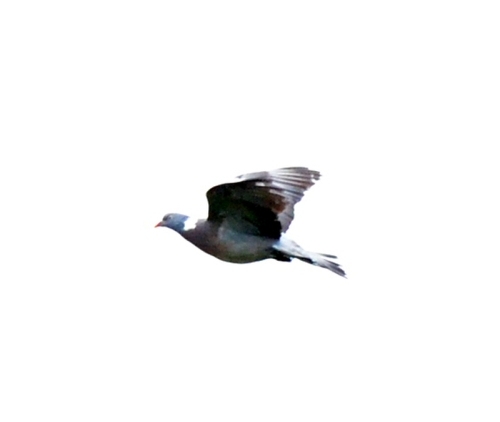 pigeon flying high