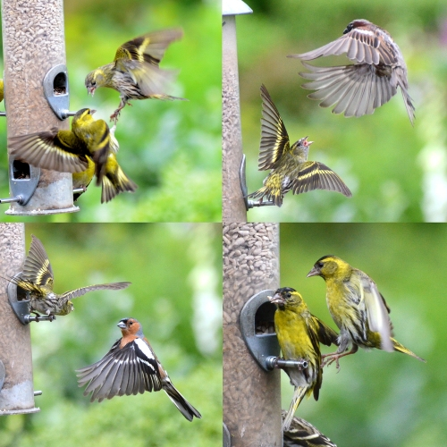 small birds scrapping
