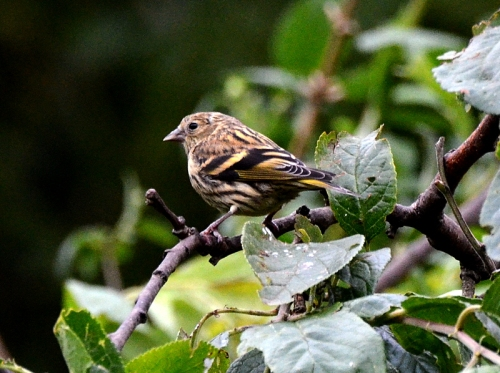 Young siskin