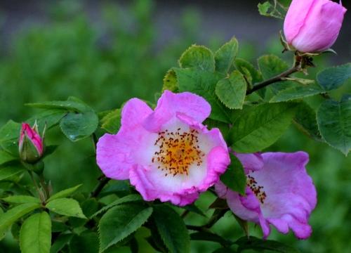 rose in evening