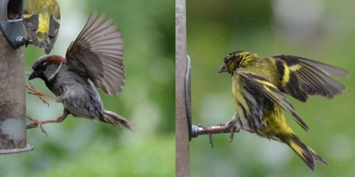 siskin sparrow