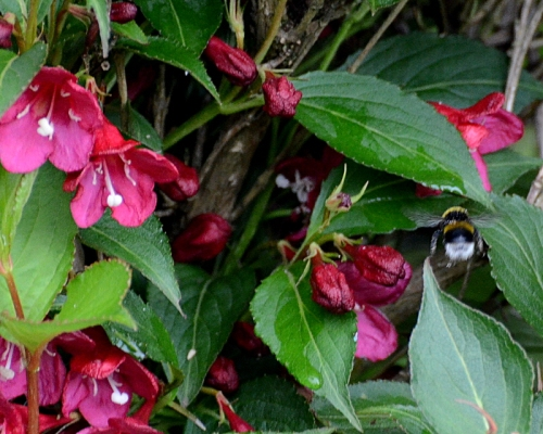 weigela with bee