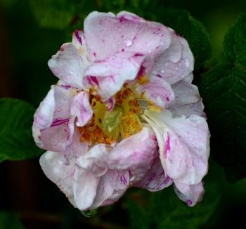 soggy rose