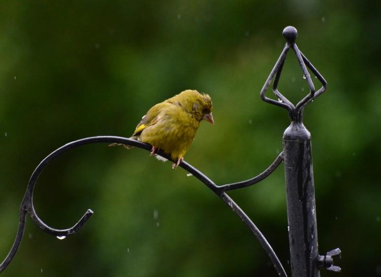 greenfinch in rain