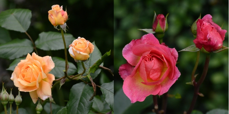 Gorgeous roses enjoying the sunshine