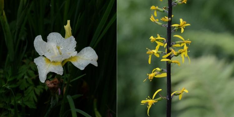 iris and ligularia
