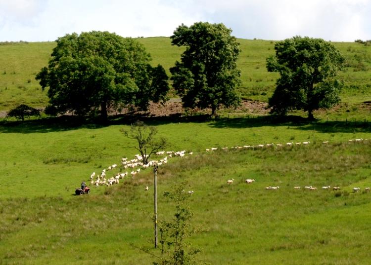 Sheep rounding up