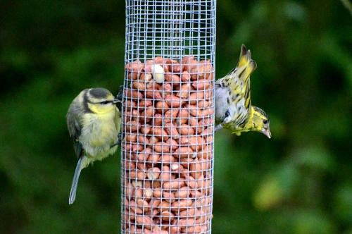 tit and siskin
