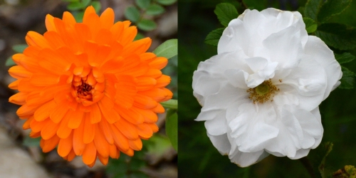 Marigold and rose