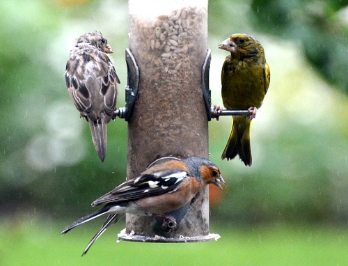 chaffinch, sparrow and greenfinch