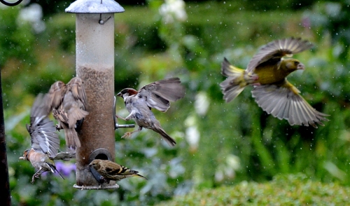 greenfinch and sparrows