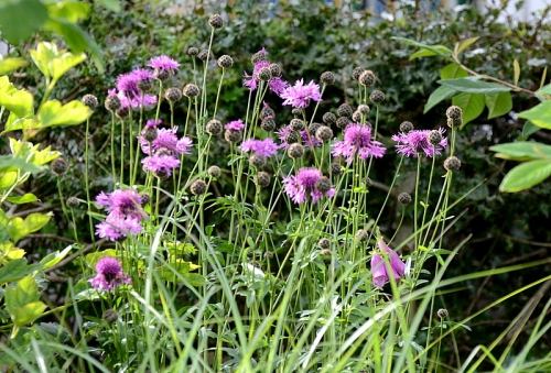 Knapweed clump