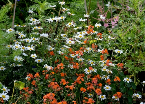 Perennial wallflowers and oxeye daisies make a nice contrast