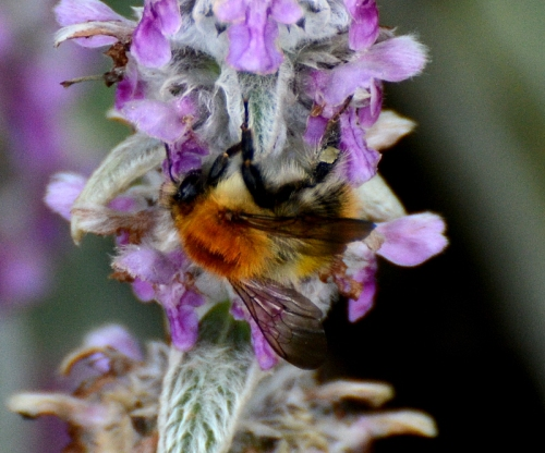 stachys and bee