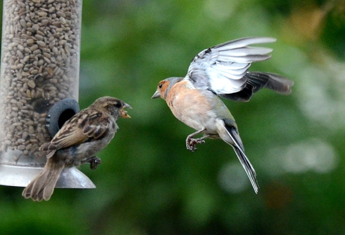 sparrow and chaffinch