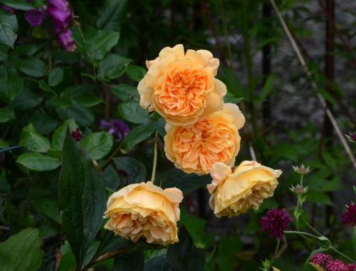 sagging roses