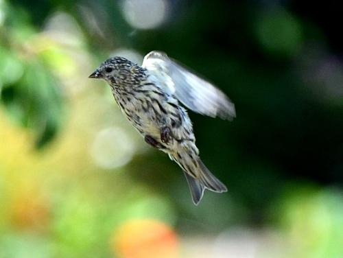 pale flying siskin