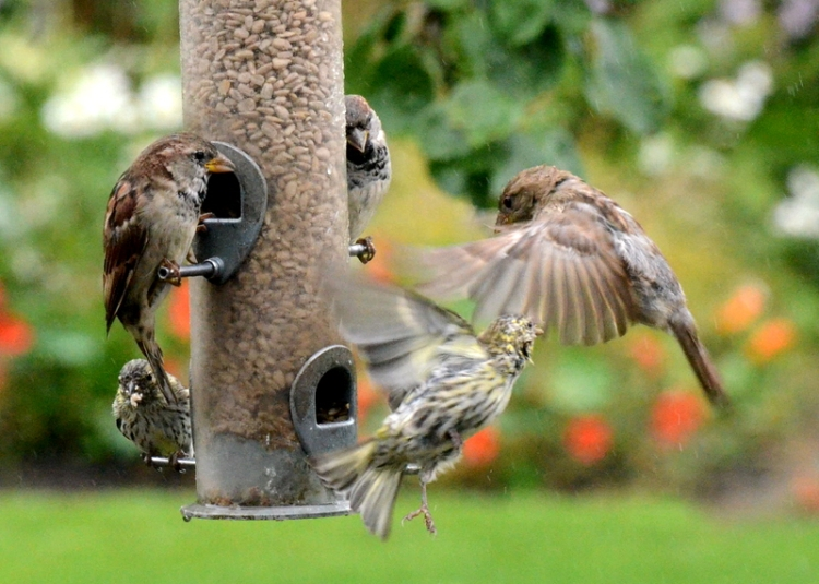 sparrows and siskins