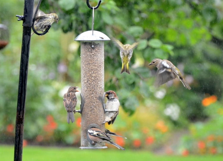 sparrows. siskins and chaffinches