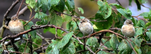 young chaffinches