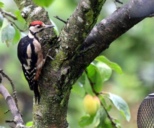 woodpecker on plum tree