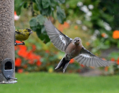 chaffinch and siskin.