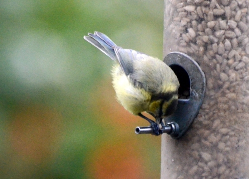 blue tit trapping seed