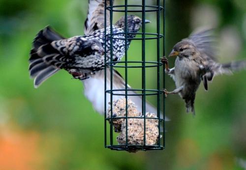 sparrow rushing