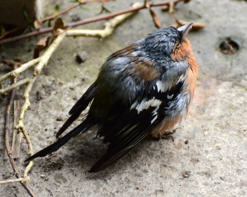 miserable chaffinch