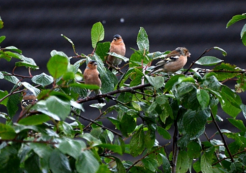 chaffinches in the tree