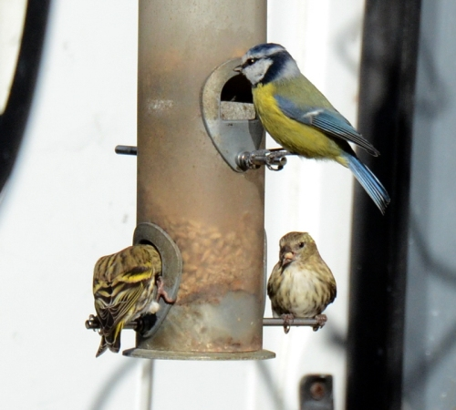 siskins and blue tit