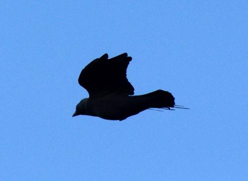 flying dark bird