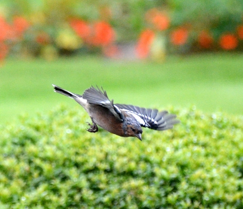 chaffinch flying off