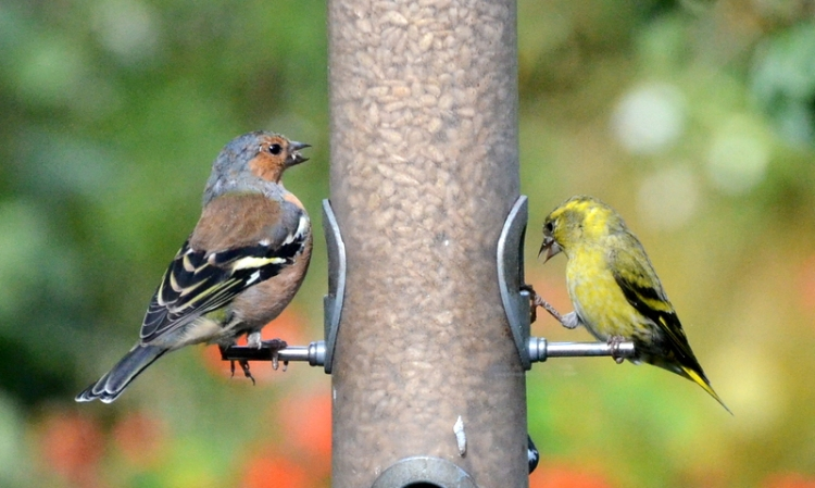 chaffinch and siskin