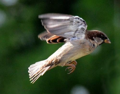 sparrow returning