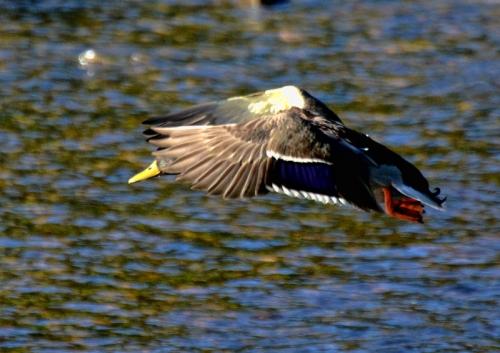 duck plunge