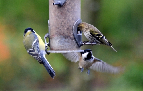 coal and great tit