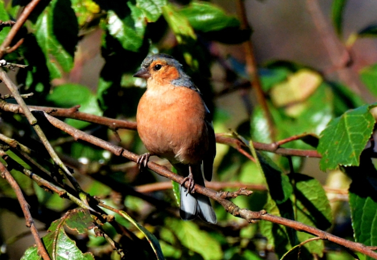 chaffinch basking