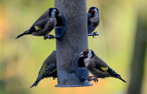 Goldfinches gather for their breakfast