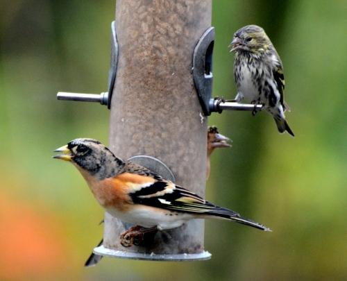 brambling on feeder