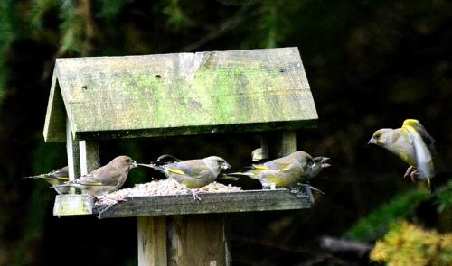 greenfinch gang hut
