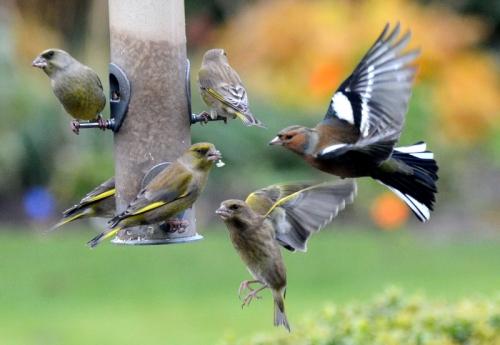 bird feeder greenfinches