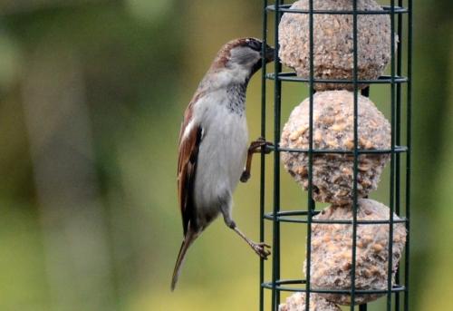 lean sparrow