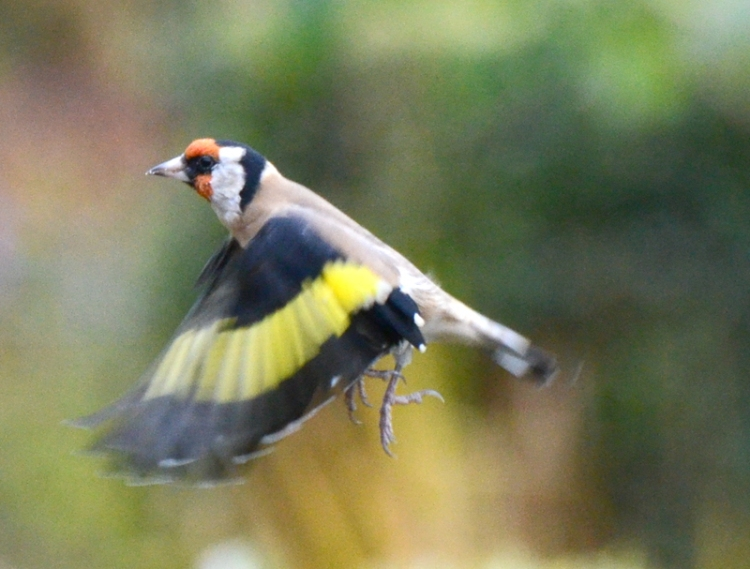 goldfinch with landing gear down.
