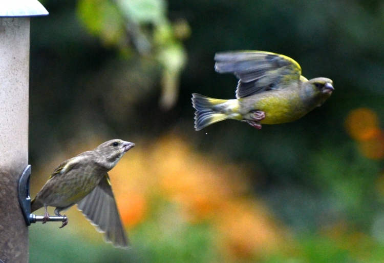 A greenfinch leaving