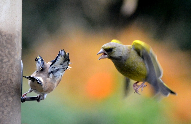 greenfinch arriving