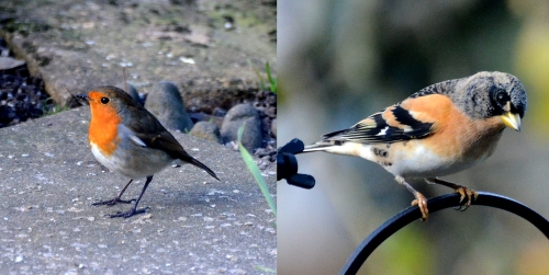 robin and brambling