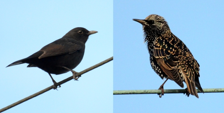blackbird and starling