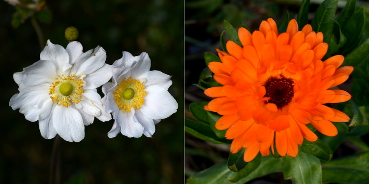 Japanese Anemones and marigold